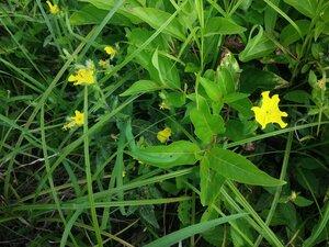 Oenothera pilosella - Tara Littlefield