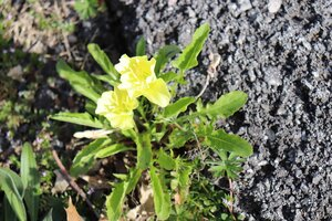 Oenothera triloba - Ashley B. Morris