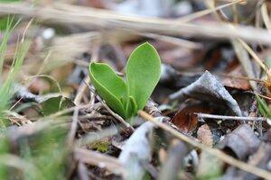 Ophioglossum engelmannii - Ashley B. Morris