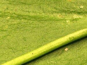 Ophioglossum pycnostichum - Joey Shaw
