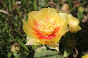 Opuntia cespitosa - Ashley B. Morris