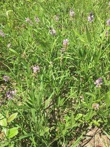 Orbexilum pedunculatum - Joey Shaw