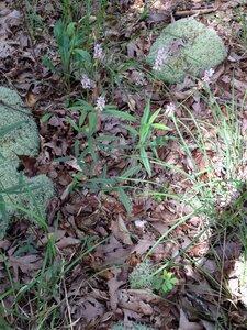 Orbexilum pedunculatum - Milo Pyne