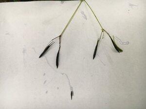 Osmorhiza claytonii - Theo Witsell