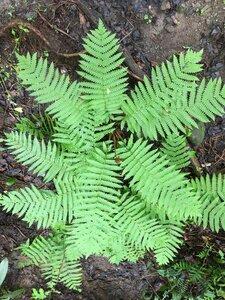 Osmundastrum cinnamomeum - Joey Shaw
