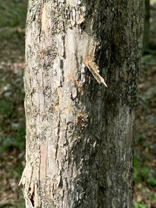 Ostrya virginiana - Dwayne Estes