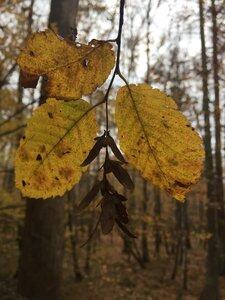 Ostrya virginiana - Sunny Fleming