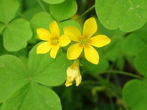 Oxalis illinoensis - Milo Pyne