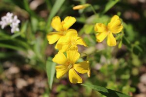 Oxalis macrantha - Ashley B. Morris