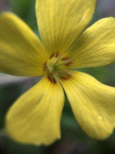 Oxalis macrantha - Milo Pyne