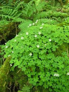 Oxalis montana - Dwayne Estes