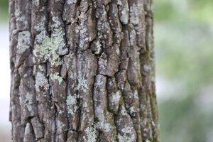 Oxydendrum arboreum - Ashley B. Morris