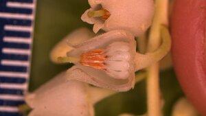 Oxydendrum arboreum - Joey Shaw