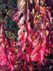 Oxydendrum arboreum - Milo Pyne