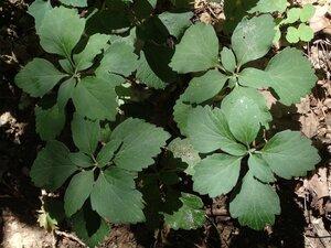 Pachysandra procumbens - Milo Pyne