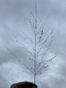Panicum virgatum - Dwayne Estes