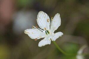 Parnassia grandifolia - Dwayne Estes