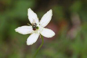 Parnassia grandifolia - Sunny Fleming