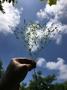 Paronychia canadensis - Dwayne Estes