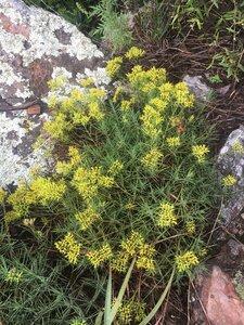 Paronychia virginica - Theo Witsell
