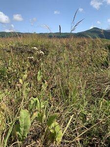 Parthenium integrifolium - Dwayne Estes
