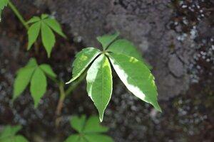Parthenocissus quinquefolia - Ashley B. Morris