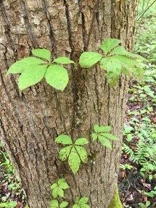 Parthenocissus quinquefolia - Joey Shaw