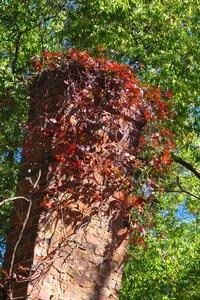 Parthenocissus quinquefolia - Milo Pyne