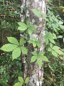 Parthenocissus quinquefolia - Theo Witsell