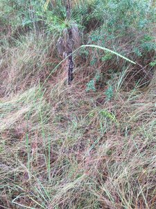 Paspalum floridanum - Dwayne Estes