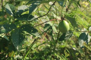 Passiflora incarnata - Ashley B. Morris