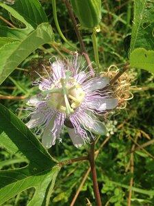 Passiflora incarnata - Dwayne Estes