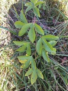 Passiflora incarnata - Joey Shaw