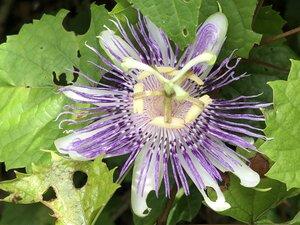 Passiflora incarnata - Milo Pyne