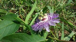 Passiflora incarnata - Shawn Krosnick