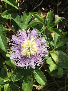 Passiflora incarnata - Sunny Fleming