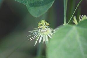 Passiflora lutea - Ashley B. Morris