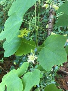 Passiflora lutea - Joey Shaw