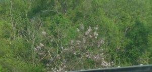 Paulownia tomentosa - Milo Pyne