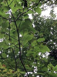 Paulownia tomentosa - Sunny Fleming