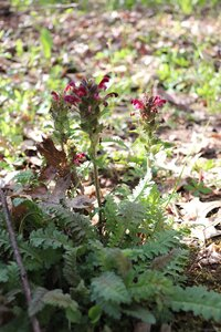 Pedicularis canadensis - Ashley B. Morris