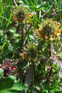 Pedicularis canadensis - Milo Pyne