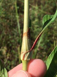 Persicaria lapathifolia - Dwayne Estes