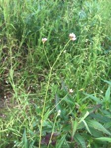 Persicaria sagittata - Theo Witsell