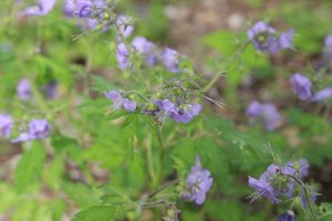 Phacelia bipinnatifida - Ashley B. Morris