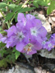 Phacelia bipinnatifida - Tara Littlefield