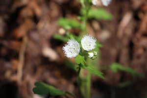 Phacelia fimbriata - Ashley B. Morris