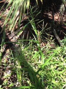 Phanopyrum gymnocarpon - Milo Pyne