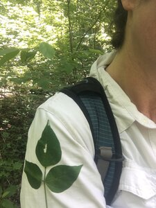 Phaseolus polystachios - Tara Littlefield