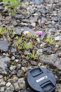Phemeranthus calcaricus - Ashley B. Morris